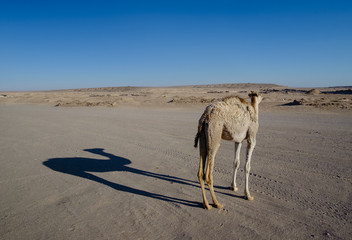 bactrian camel during go to Maranjab Desert, Kashan, Iran