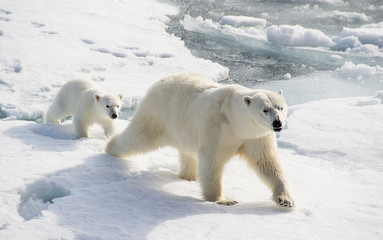 Bear and Cub on the arctic icecap searching for seals