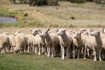 Flock of Sheep - New Zealand
