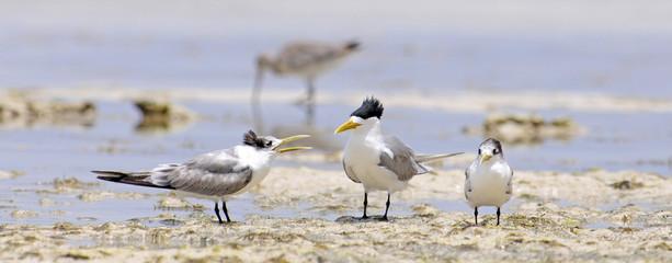 Eilseeschwalbe (Thalasseus bergii) - Greater crested tern / Neukaledonien