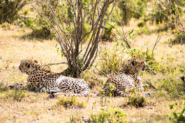cheetah lying in the shade of a bush in the savannah of the Masai Mara Park in Kenya