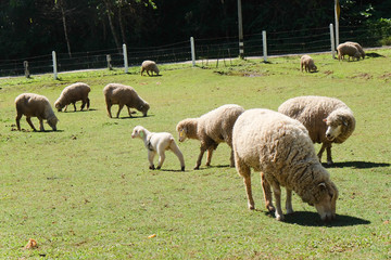 Sheep grazing in the farm