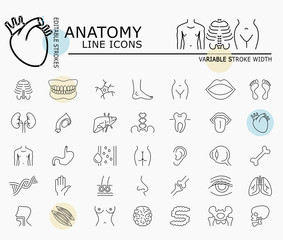 Human anatomy line icons with minimal nodes and editable stroke width and style