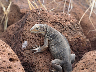 The Great Land Iguana, Conolophus subcristatus, is quite crowded on the island, North Seymour, Galapagos, Ecuador
