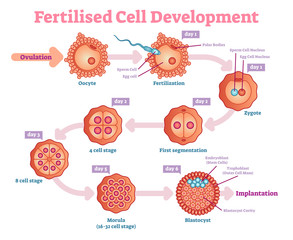 Fertilised Cell development diagram, vector illustration. Educational medical information.