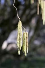 Birkenfrucht im Frühling
