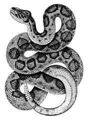 Mojave Klapperschlange-Crotalus scutulatus-Rattlesnake-vintage