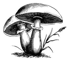 Pilze-fungi-mushrooms-vintage