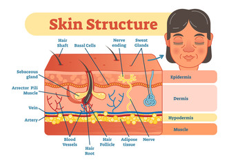 Skin structure vector illustration diagram with skin layers and main elements. Educational medical dermatology information.