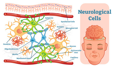 Neurological cells vector illustration diagram. Educational medical information.
