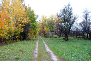Line of yellow birches in the hills on the edge of the road, cloudy autumn sky