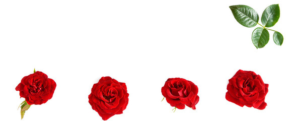 Flowers composition. Red roses isolated on white background. Free space for text.