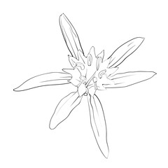 Hand Drawn Flowers Lilies on a white background