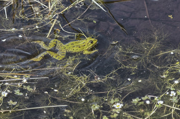 Pelophylax perezi. Beautiful green frog is swimming in the pool, surrounded of plants with white flowers. Natural and wild scene. Spring time. Sunny day.