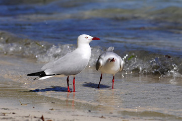 Silberkopfmöwe (Chroicocephalus novaehollandiae) - Silver gull