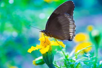 Pomarańczowy, Czarny Motyl, Kwiat Nagietka, Miejsca Oczu