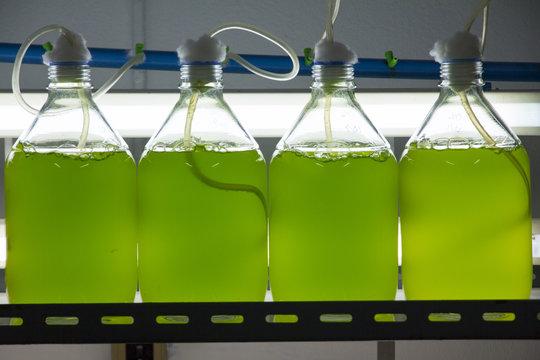 Marine plankton culture in laboratory
