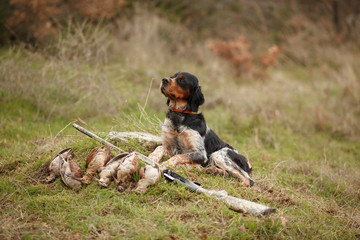 hunting dog epagnol Breton on the hunt for bird