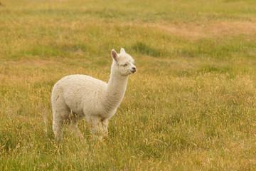 Alpaca white colour over green glass, fram animal