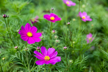 Pink Cosmos flowers with blurred green field