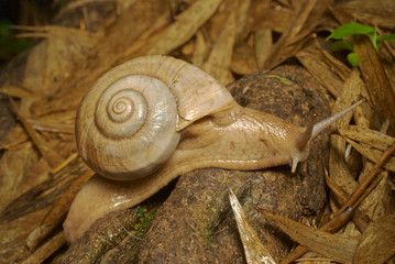 Land snail is moving on tree timber. Beautiful in the nature.