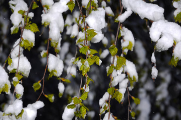 Young birch leaves covered with snow