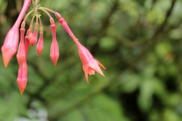 Fuchsia Triphylla plant in the garden