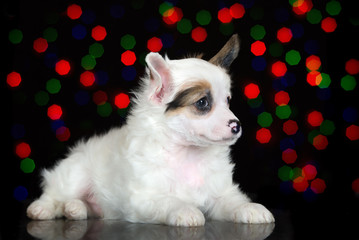 adorable white powderpuff chinese crested puppy ling down