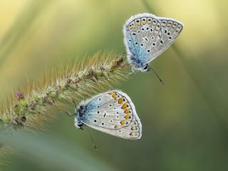 Zwei Schmetterlinge sitzen an einem Grashalm.