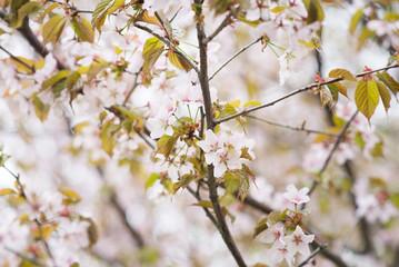 Branches of sakura tree blossoms. Orchard