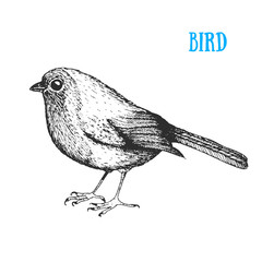 Bird vector illustration. Vintage hand drawn bird . Autumn or winter bird. Engraved style.