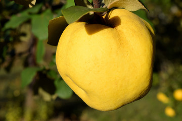 quince yellow in autumn