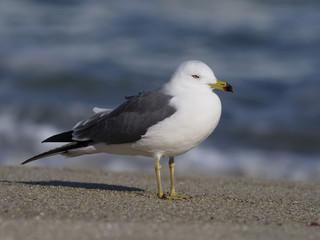 Black-tailed gull, Larus crassirostris