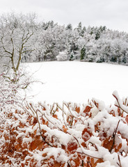 Outdoor idyllic winter color image of a red brown copper beech with leaves in front of a snow field, an old cherry tree and a forest