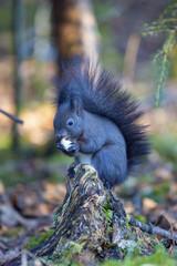 Eichhörnchen - Wald - Allgäu - niedlich - Winter