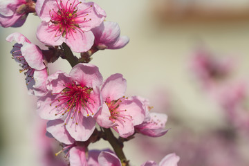A blooming branch of apple tree in spring with soft background. Majestic beauty of springtime flowers