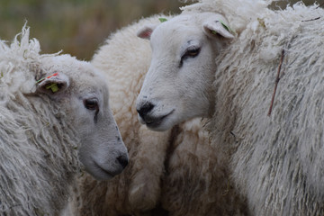 Sheep close-up in the meadow in the netherlands