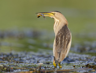 Little bittern with fish (Ixobrychus minutus)