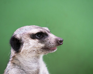Portrait of a meerkat on a green background.