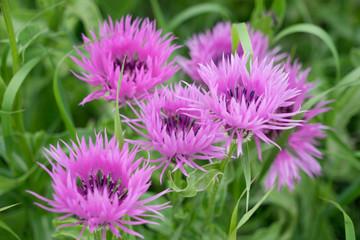 Blütenteppich pink