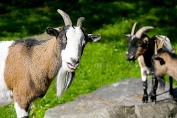 Portrait of goats