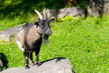 The goat stands on a stone