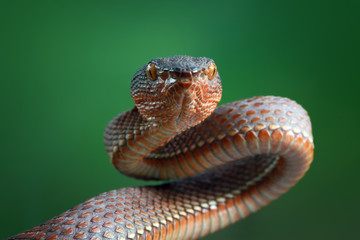 Viper snakes