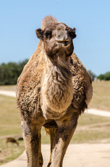 Camel head and body portrait in a Safari trip