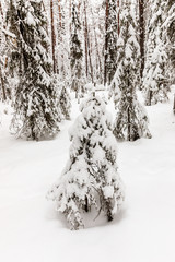snow-covered forest near The Raudanjoki river, Rovaniemi, Finland.