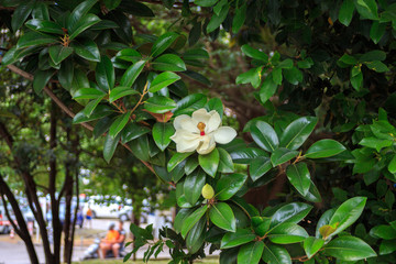 the Magnolia tree. Beautiful white Magnolia flower on a tree