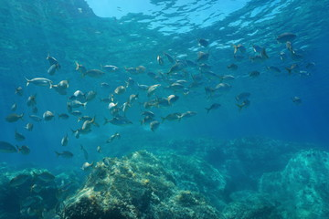 Underwater Mediterranean sea, shoal of fish sea breams salema porgy, Sarpa salpa, Costa Brava, Catalonia, Spain