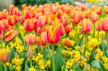 Blooming red tulips and yellow narcissus flowers in Keukenhof garden in Netherlands, Europe.