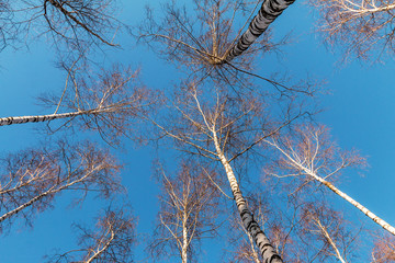 A view from below on a branches and clear blue sky on a winter forest
