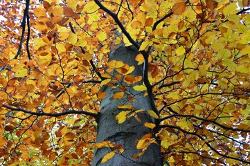 Close up to colourful beech tree